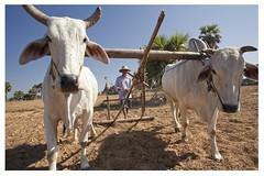 Bagan, (Myanmar) (alvaromoneo) Tags: white men blanco asia burma farming ox land myanmar farmer alvaro moneo hombre preparing bagan tierra buey campesino agricultura preparar birmania isiegas alvaromoneohotmailcom