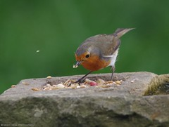 robin  13.05.16 (2) (Simon Dell Photography) Tags: uk red wild england detail bird simon robin garden photography one cool breast bright sheffield best awsome number dell valley wife xxx loved bf gf sute s12 britains hackenthorpe shirebrook uroasian
