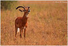 Roar of the Warrior! (MAC's Wild Pixels) Tags: kenya nairobi ngc npc antelope warrior wildanimal impala roaring herbivore nairobinationalpark wildafrica maleimpala macswildpixels roarofthewarrior