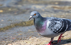 Rock Dove (abritinquint Natural Photography) Tags: wild bird nature water river germany nikon natural pigeon dove wildlife 300mm telephoto nikkor luxembourg riverbank f4 vogel pf trier mosel feral rockdove tc14eii 300mmf4 teleconvertor feralpigeon d7200 pfedvr