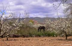 En el da de la tierra (kirru11) Tags: espaa flores caballo rboles paisaje caminos cielo nubes campo quel peas rocas montes almendros ramas larioja hierva kirru11 anaechebarria
