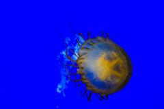 Swimming Jellyfish 2 (cimp8499) Tags: oregon aquarium jellyfish newport newportaquarium