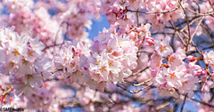 Spring time (SMPhotos2548) Tags: beautiful cherry newjersey nj bloom cherryblossom newark blooms beautifulnewjersey