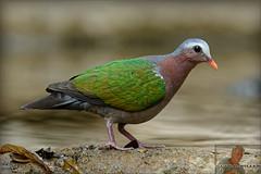 20160407-GUY_4299-DOVE-Emerald-male (guy.miller) Tags: hk guy birds island dove hong kong miller lamma emeral