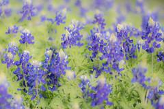 Texas Bluebonnet (Linda Dyer Kennedy) Tags: blue flower green nature catchycolors landscape spring texas bluebonnet springtime