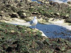 28/4/2016, 119/365, On the rocks IMG_6136 (tomylees) Tags: project kent seaside seagull april 365 thursday 28th birchington 2016