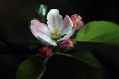 IMG_9889 (t1p2m3) Tags: flower fleur apfel malus