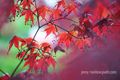 Purple Wind and Red Leaves (Jenny Rainbow (jenny-rainbow.pixels.com)) Tags: plant macro love nature beauty leaves closeup youth garden leaf spring maple glow purple wind windy japanesemaple passion bloom impressionism mapletree naturalbeauty botany naturalwonder homedecor fineartphotography newleaves japanesemapleleaves mapleblossom artforhome leafcloseup leafmacro japanesemapletree springbloom maplebloom youngleaf japanesemaplebloom springmoments jennyrainbowfineartphotography artforhomedecor redmnutedtones