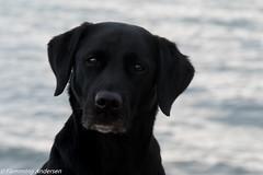 P1630349.jpg (Flemming Andersen) Tags: dogs water denmark spring labrador outdoor retriever hund dk hurup thistedmunicipality hurupthy helligsvej hebojebi