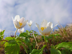 Buschwindrschen (Mariandl48) Tags: austria steiermark buschwindrschen frhlingsblume wenigzell sommersgut