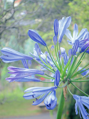 Agapanthus - lily of the Nile (C h i  u) Tags: flower agapanthus