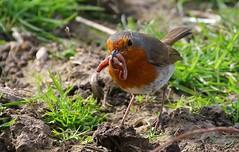Robin 240416 (1) (Richard Collier - Wildlife and Travel Photography) Tags: robin birds wildlife naturalhistory british britishbirds