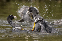 Kung Fu Fighting Coots ( cheers Andrew, for the title ) (Skidzey) Tags: