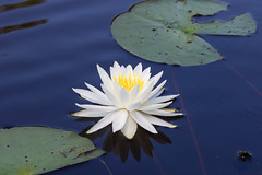 American White Water Lily  ( Nymphaea odorata ) (rhn3photo) Tags: blue white plant green water yellow pond waterlily april lilypad waterdroplets 2016 nymphaeaodorata hobcawbarony