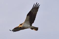Osprey sunset hunt (zxorg) Tags: bird animal raptor osprey birdinflight