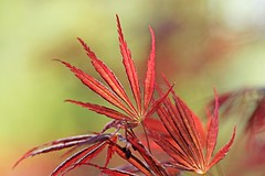 Japaneese Maple (Mah Nava) Tags: red tree rot leaves spring maple acer bltter acerpalmatum baum frhling ahorn acerjaponicum japaneesemaple fcherahorn japanischerfcherahorn