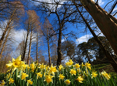 Perfect spring day (spencerrushton) Tags: wood sky colour tree nature digital canon landscape outdoors daylight spring woods day walk surry daffodil windsor spencer dslr 1022mm manfrotto windsorgreatpark virginiawater 2016 canonefs1022mmf3545usm canon1022mm rushton canonlens manfrottotripod dethoffield spencerrushton 760d canon760d parkdaffbirds
