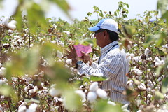 FAO / Aurelie Duray (FAOPER) Tags: algodn dasdecampo cooperacinsursur