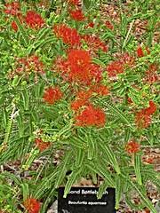 Perth, Kings Park - Sand Bottlebrush (zorro1945) Tags: red oz australia perth wa bottlebrush kingspark westernaustralia redflower redbottlebrush sandbottlebrush