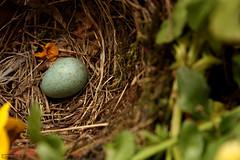 Primogenito (Ondeia) Tags: italy milan primavera animal animals spring italia colours milano egg son colori merlo uovo merla figlio milanese settimo nascituro
