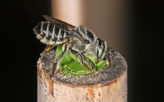 Series of a Leaf-cutter bee finishing off a nest (Jenny Thynne) Tags: insect australia brisbane bee queensland leafcutter hymenoptera megachilidae pollinator cuttingleaf