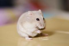 DSC_6528 () Tags: pet animal hamster