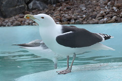 Great Black Backed Gulls (NTG's pictures) Tags: black grey wildlife gulls great center seal seals common backed sanctuary mablethorpe