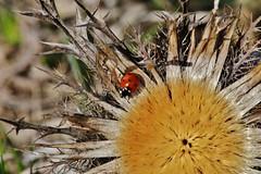 Lady Bug on Carlina acaulis (Hugo von Schreck) Tags: macro bug insect outdoor ladybug makro insekt kfer marienkfer f13 silberdistel carlinaacaulis silverthistle tamronspaf180mmf35dildifmacro11 onlythebestofnature canoneos5dsr hugovonschreck