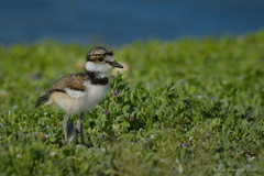 Baby Killdeer (Happy Photographer) Tags: baby bird grass spring killdeer chick amyhudechek nikon200500mmf56