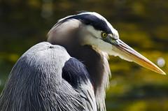 Fishing DSL6518 (iloleo) Tags: bird heron nature dof florida bokeh wildlife greatblueheron bigcypressnationalpreserve nikond7000