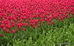 March of the tulips (in explore 19-04-2016) (Marc Haegeman Photography) Tags: flowers red plant flower color green netherlands field landscape spring outdoor blossoms nederland flowerbed tulip bloom colourful keukenhof bloem zuidholland tulp beautifulearth nikond750 marchaegemanphotography