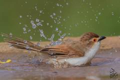 Ashy Prinia (Saeed Lajami) Tags: india water birds canon wildlife karnataka in bengaluru ashyprinia