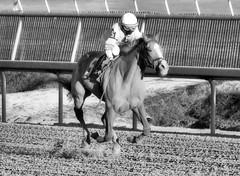 2016-01-03 (106) r9 Caitlyn Stoddard on #5 Tough Weather (JLeeFleenor) Tags: horses bw monochrome caballo cheval photography blackwhite md photos uma maryland cal jockey chestnut jinete cavallo cavalo pferd equestrian kuda alogo equine hest thoroughbreds soos hevonen cuddy paard cavall kon koin laurelpark  jokey fantino hst ceffyl  jquei  ko faras hestur  perd femaleathletes ngi  konj    capall beygir yarraman dokej femalejockey rennreiter  pfeerd marylandhorseracing marylandracing   okej kilparatsastaja jocheu