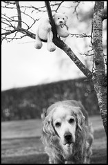 17/52  Nick & Lille Knut Hanging About and Around the Plum Tree (fotografier/images) Tags: leica portrait dog pet tree animal goldenretriever fun toy golden dof bokeh retriever 100mm summicron icebear plumtree leicas summicrons 52weeksfordogs summicrons100mm