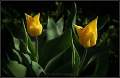 DSCF7078reph (Fay2603) Tags: plant flower nature blossom natur pflanze frame blume blte fotorahmen naturenaturblumeblteflowerblossomseasonsjahreszeitenfrhjahrfrhlingspringoutdoorgardengartenframebilderrahmenrahmenhintergrundbackgroundblackschwarzgrnhellgrnlichtlightgreenfotorahmenyellowtulpewildblume