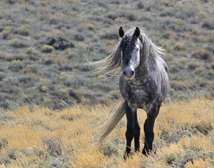First Sign of Beast--2016 (chad.hanson) Tags: wildlife wyoming mustang wildhorses greenmountainhma