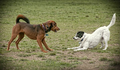 Face off (mgstanton) Tags: dogs nature callahan framingham