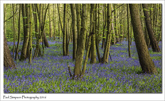 A forest of Blue (Paul Simpson Photography) Tags: blue trees nature beauty bluebells forest woodland woods flowering bluebell scunthorpe springtime blueflower naturephotography photosof photoof photosofnature sonya77 paulsimpsonphotography april2016