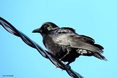 American Crow (Lois McNaught) Tags: bird nature outdoor wildlife avian americancrow hamiltonontariocanada