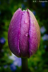 Tulpe / Tulip (R.O. - Fotografie) Tags: macro nature up rain closeup lumix wasser close bokeh natur panasonic tulip makro fz 1000 regen dmc raindrop tulpe regentropfen fz1000 dmcfz1000