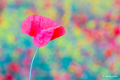spring colors (vilchesdavid) Tags: red flower green primavera colors field yellow spring poppy 80200 amapola nikond7100