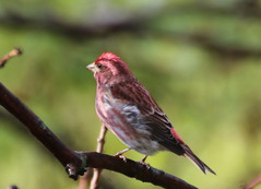 What a Wonderful Surprise - Male Purple Finch (joanspictures1) Tags: minnesota canon rebel wildlife songbirds champlin migrantbird malepurplefinch t6i