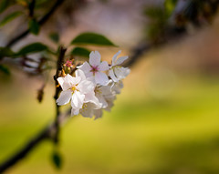 It's spring time! (Premal Dhruv Photography) Tags: park flowers usa white flower cherry newjersey spring branch blossom nj brook newark 2016