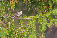 All heart (Khurram Khan...) Tags: ilovenature wildlife migration goldencrownedkinglet songbirds wildlifephotography ilovewildlife iamnikon khurramkhanphotocom