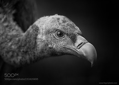 G R I F F O N (southjerseseyhvac) Tags: wild portrait blackandwhite bw  white black bird nature animal fauna outdoors spain europe all background wildlife environmental rights prey vulture copyrights reserved birdofprey buitreleonado buitre leonado griffon gyps fulvus 2016 environmentalportrait animalportrait behaviour animalbehaviour gypsfulvus griffonvulture of fegari backgroundblack copyrightsfegari fegariphotohotmailcom 2016fegariallrightsreserved wwwfegariphotocom fegarigram