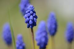 Traubenhyazinthen (Caora) Tags: balticsea april rgen ostsee ruegen