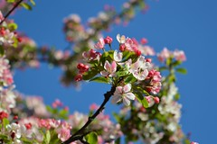 Cherry Blossom on Blue (Nat Nelson) Tags: blue sky contrast isleofwight cherryblossom ryde hardlight