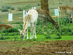 Monarto Zoo - Deer (samcol6) Tags: nature animals lumix zoo sam south australia deer panasonic col 2016 monarto fz150 samcol6