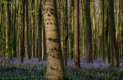 The shade (rvanhegelsom) Tags: wood flowers blue trees plant flower color colour tree green nature floral beautiful bluebells fairytale forest landscape spring woods flora colorful belgium natural colourful sequoia halle hallerbos