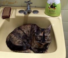 Mel, a creative female kitten looking for places (ssspnnn) Tags: felino elsalvador witten gatita gatinho nunes animaldeestimao canoneos70d spereiranunes snunes spnunes